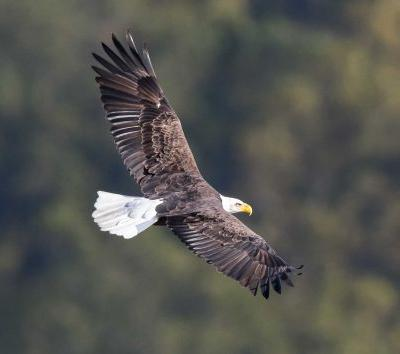 Investigators looking into poisonings that have killed 7 bald eagles and a great horned owl