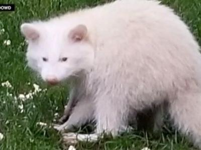 Wild video: Man spots rare albino raccoon roaming his backyard