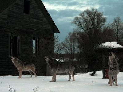 Nuclear disaster site turning into breeding ground for wild wolves