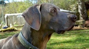 Improve Your Weimaraner's Skin & Coat With This One Simple Hack