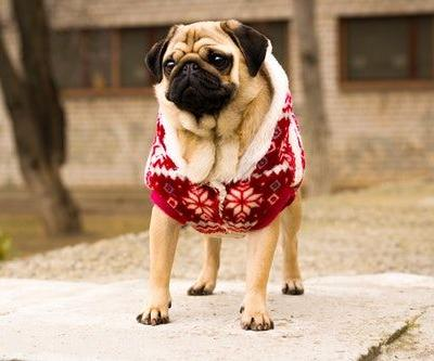 8 Dogs In Christmas Sweaters To Make Everyone Feel Warm & Cozy