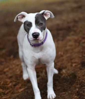 """VIOLET"" petite and pretty white and grey staffie mix"