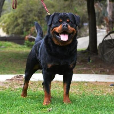 Start Training Your Rottie With The Sound Of A Clicker