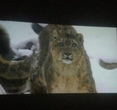 Pakistan's rare snow leopards showcased in latest documentary