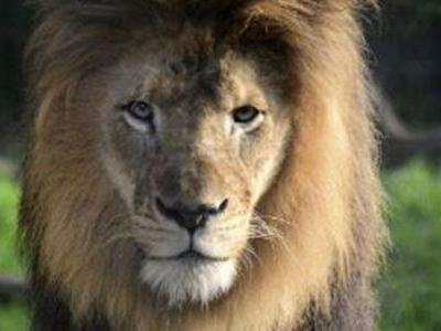Lioness kills father of her cubs at Indiana zoo