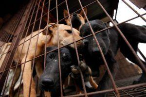 Watch The Excitement Of 200 Dogs When Rescuers Come To Shut Down A Dog Meat Farm