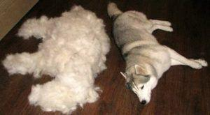 Dogs Have 15,000 Hairs Per Inch of Fur! 🐕 Here's The TOP Way to Reduce Spring Shedding