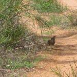 Brown Quail in Australia