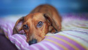 Choosing The Best Joint Supplement for a Dachshund - 6 Things You Must Know