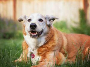 Signs Your Dog's Body is Aging Too Fast