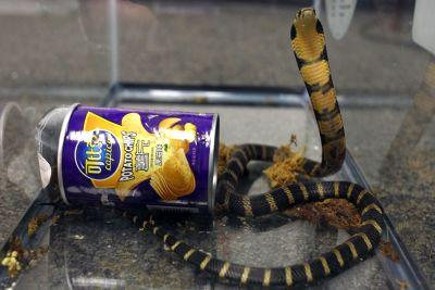 Man allegedly tried to smuggle king cobras in potato chip cans