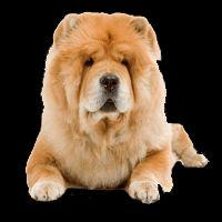 Breed: Chow Chow