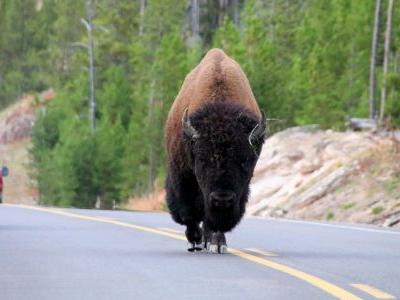 Video shows man taunting bison at National Park