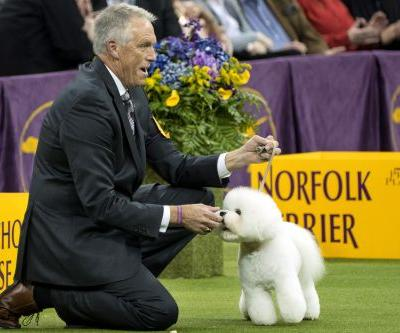 Bichon frise becomes America's top dog