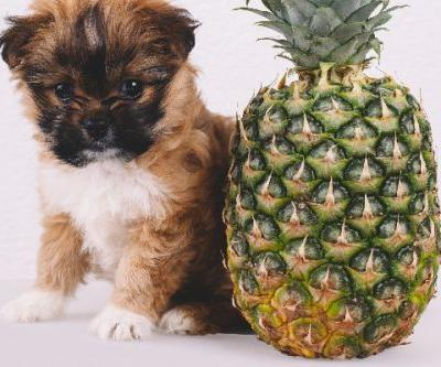 Can Dogs Eat Pineapple? What to Know About Dogs and Pineapples
