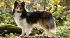 Improve Your Sheltie's Skin & Coat With This One Simple Hack