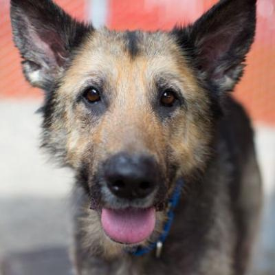"""MORTICIA"" gentle lovable German Shepherd - needs continued TLC"