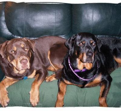 The Red Rottweiler & Other Rare Rottweilers