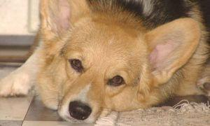 3 Amazing Ways To Honor A Corgi Who Passed Away