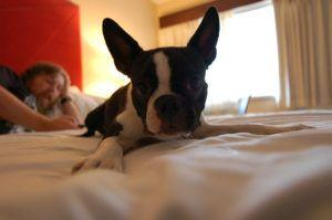 3 Things Your Boston Terrier Loves More Than Anything