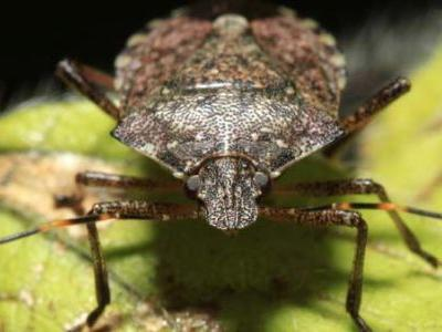 Polar vortex may have killed 95 percent of invasive stink bugs, researchers say