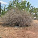 Great Bowerbirds collecting blue items