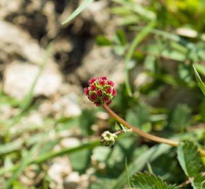 12 interesting facts about salad burnet