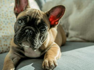 What's The Difference Between A Boston Terrier And A French Bulldog?