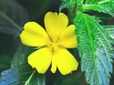 Damiana: The Herb that Can Enhance Mood, Libido & More