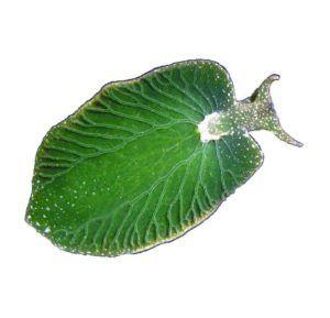 Catching up with Carola and the 'Solar-Powered' Sea Slug