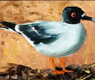 Swallow Tail Sea Gull,oils,canvas,Barbara Haviland