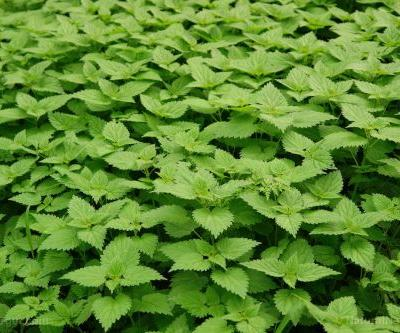 IBD patients can improve their quality of life with common nettle