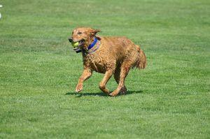 3 Tips To Teach Your Golden Retriever To Play F