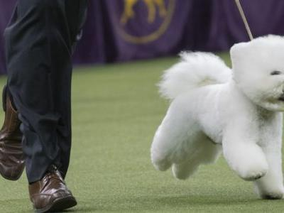 Win Like Flynn: A Bichon Frise Is This Year's Top Dog At Westminster Show