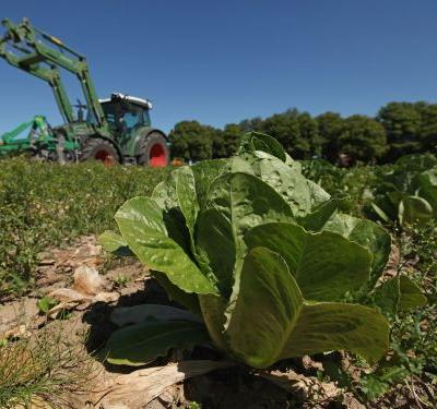 E. Coli-Tainted Romaine Lettuce Has Sickened People in 11 States