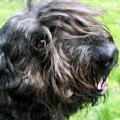 What Is Laryngeal Paralysis in Dogs?