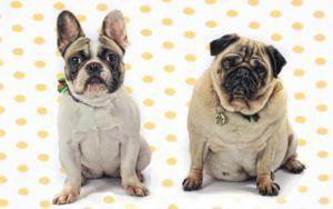 Welfare Groups: Popularity Of Bulldogs & Pugs In Ads Is Harmful To The Breeds
