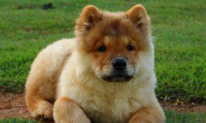 The Trendy New Kind of Dog Treat Chow Chows Go Nuts For