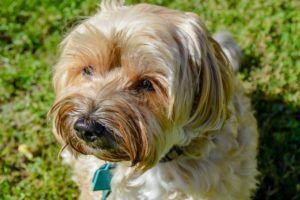 Giving This To Your Havanese Daily Could Help Alleviate Painful Skin Allergies
