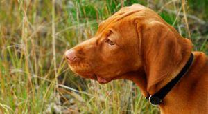 Improve Your Vizsla's Skin & Coat With This One Simple Hack