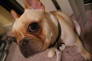 4 Things To Do When Your French Bulldog Is Stressed