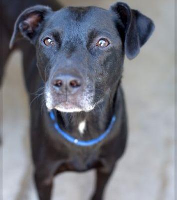 """CHEVY"" sweet reserved little Lab mix"