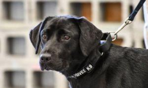 Dog Trained By CIA Decides That Sniffing Bombs Just Isn't Her Thing