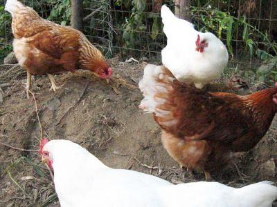 Backyard chickens blamed for illness outbreak in Carolinas, 42 other states, CDC says