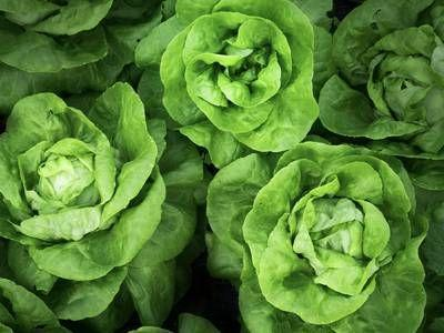 A brief history of lettuce, America's first fresh vegetable