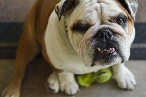 3 Things All English Bulldog Owners Should Know