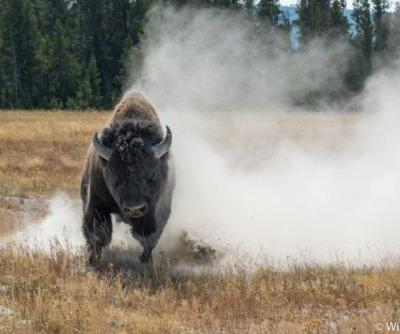 This Photographer Got Charged by a Bison in Yellowstone