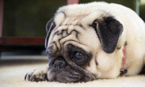 3 Amazing Ways To Honor A Pug Who Passed Away