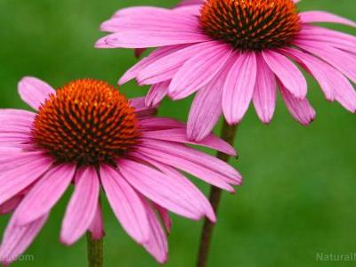 Back to nature: Five of the best medicinal plants to grow in your garden