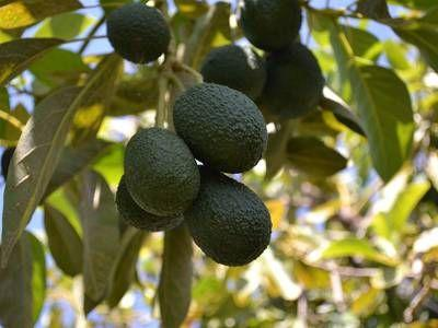 Want an avocado tree in New Zealand? Get in line!